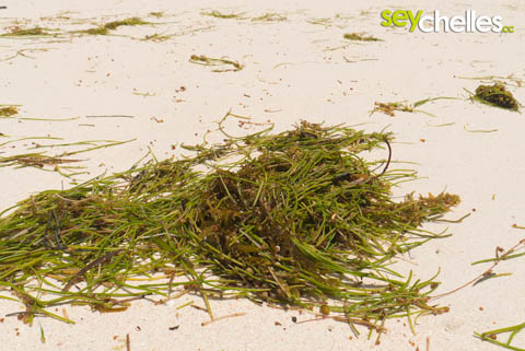 seaweed or seagrass on seychelles beaches