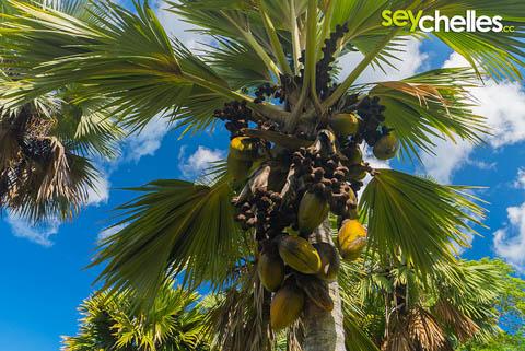 coco de mer - endemische pflanze auf den seychellen im botanischen garten