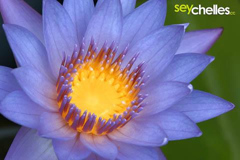 wunderschöne lotusblume im botanischen garten in victoria