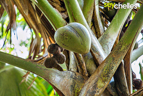 the coco de mer carries the biggest seed in the world