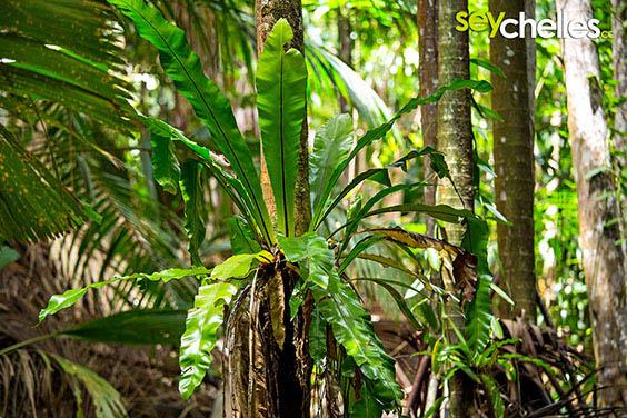 tropical ferns in the vallee de mai on praslin