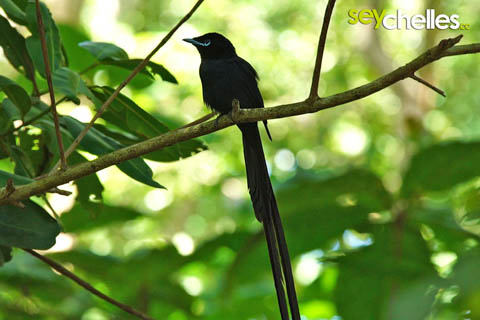 male paradise flycatcher in the veuve on la digue