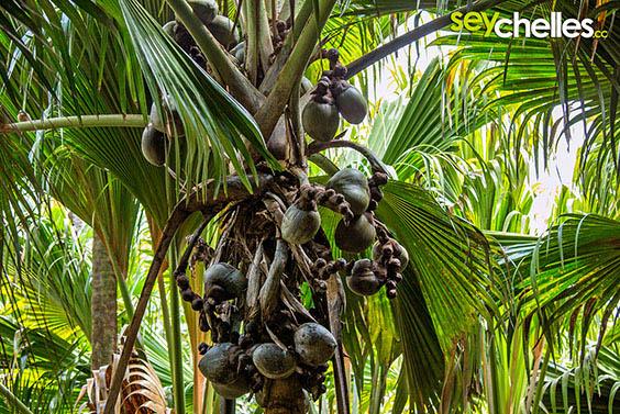 female coco de mer with coconuts